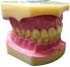 Dental Study Model Dewasa Standard